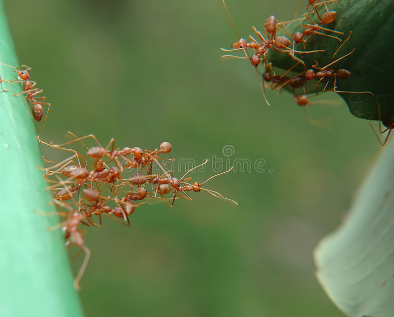 To reach out. A nest of ants from the opposite leaf trying to reach out to those ants from the lower ground