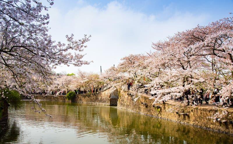 China Wuxi Shantou Cherry Blossom Festival royalty free stock photo