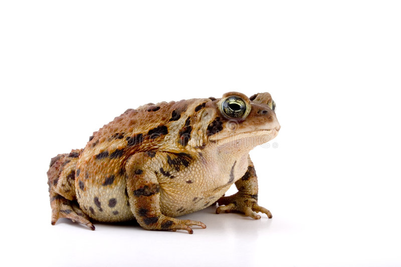 Toad. Fat Toad isolated against a white background