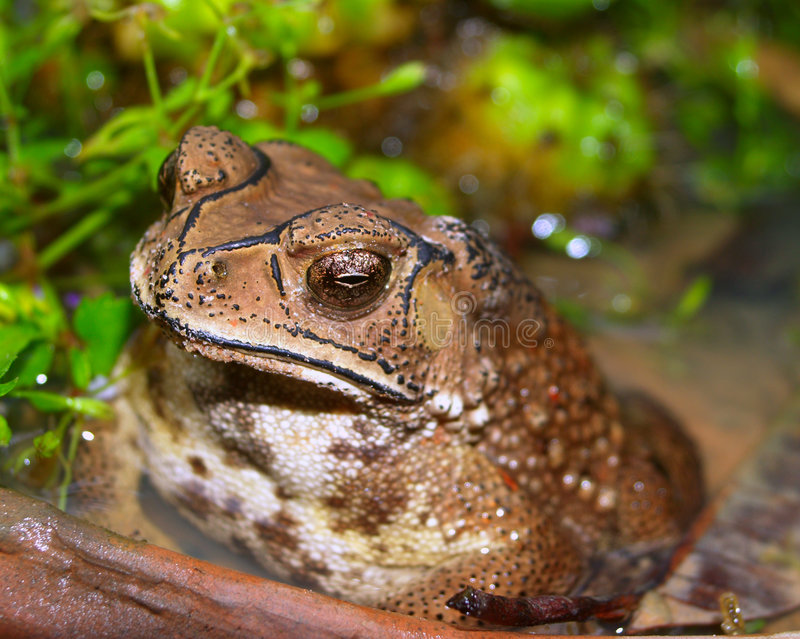 Download Toad stock image. Image of warty, grose, reptiles, toad - 1404269