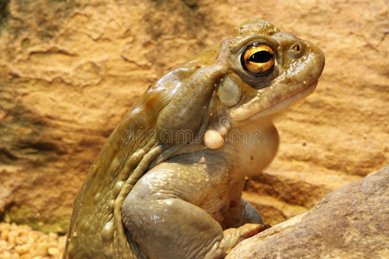Toad. Colorado Toad - Bufo Alvarius - Closeup royalty free stock photo