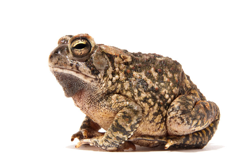 Toad royalty free stock image