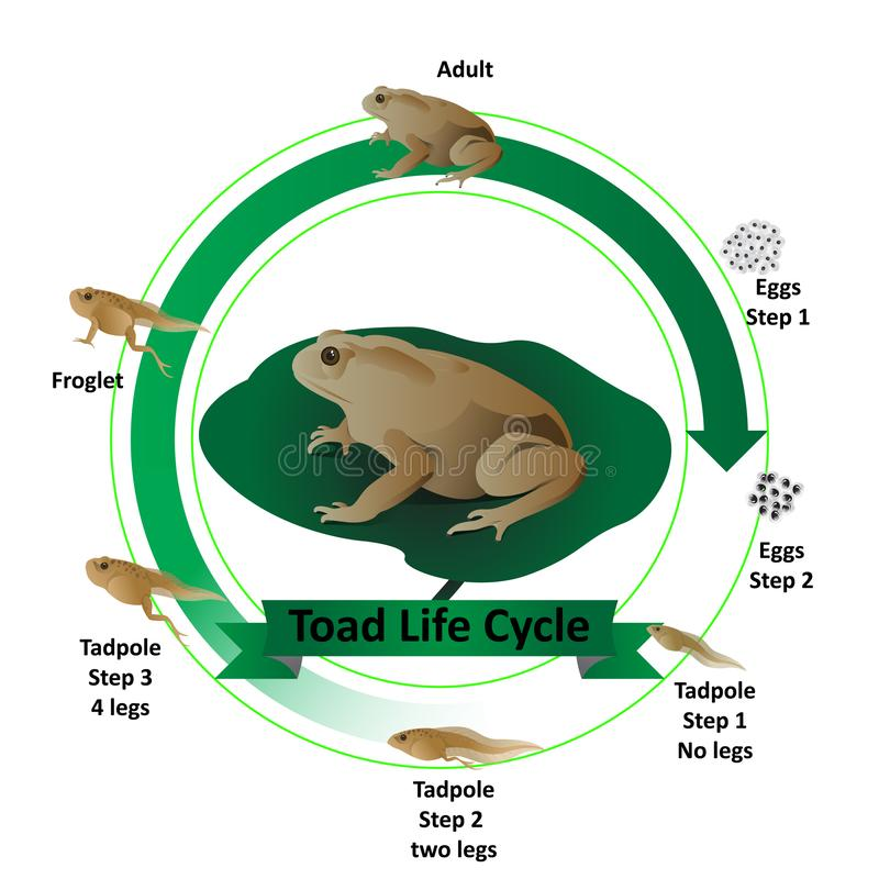 Toad life cycle, from eggs to adults royalty free illustration