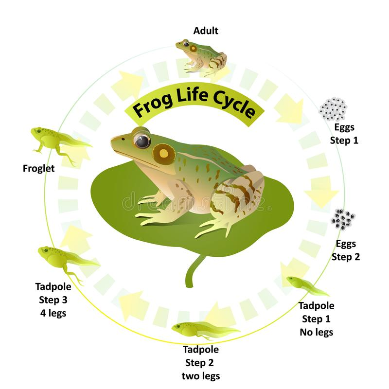 The life cycle of frogs, amphibians,Insects are their food. royalty free illustration