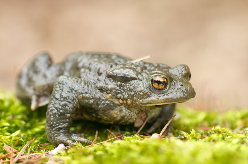 Toad stock image