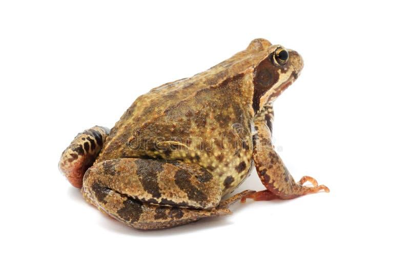Bumpy Toad Close Up Stock Photo Image Of Closeup Close