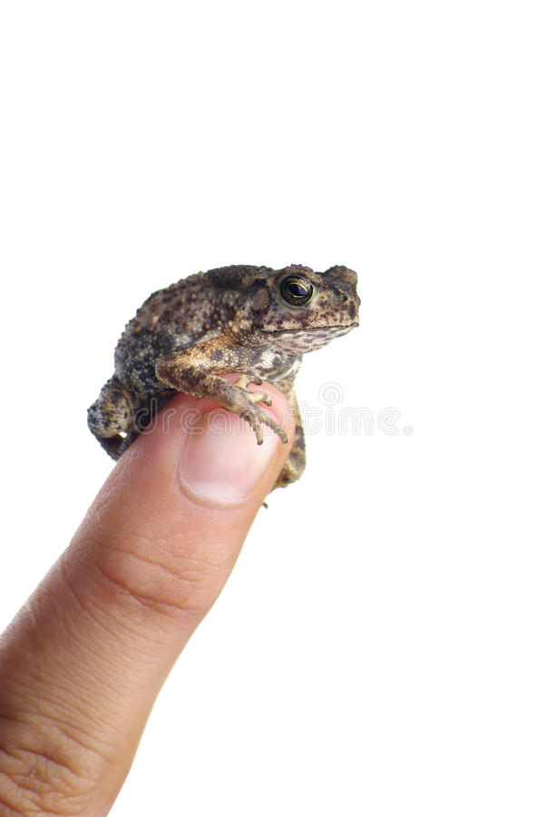 Free Toad Stock Photo - 24156930