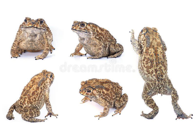 Download Toad stock photo. Image of brown, amphibian, white, isolated - 28104968