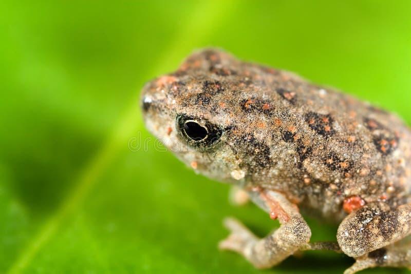 Download Toad stock image. Image of close, wildlife, macro, amphibian - 5554477