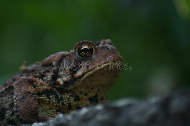 Toad (Anaxyrus) royalty free stock photo