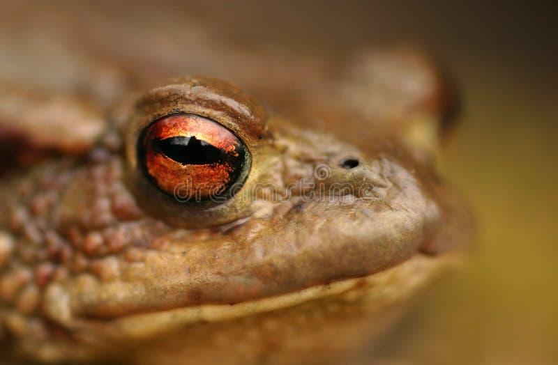 Toad (Bufo bufo) stock image