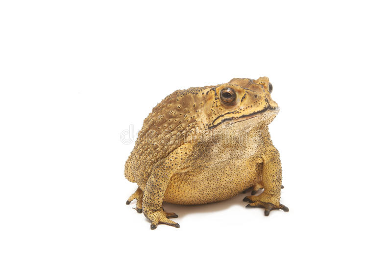 Toad,Bufo bufo (Common Toad). Isolate royalty free stock images