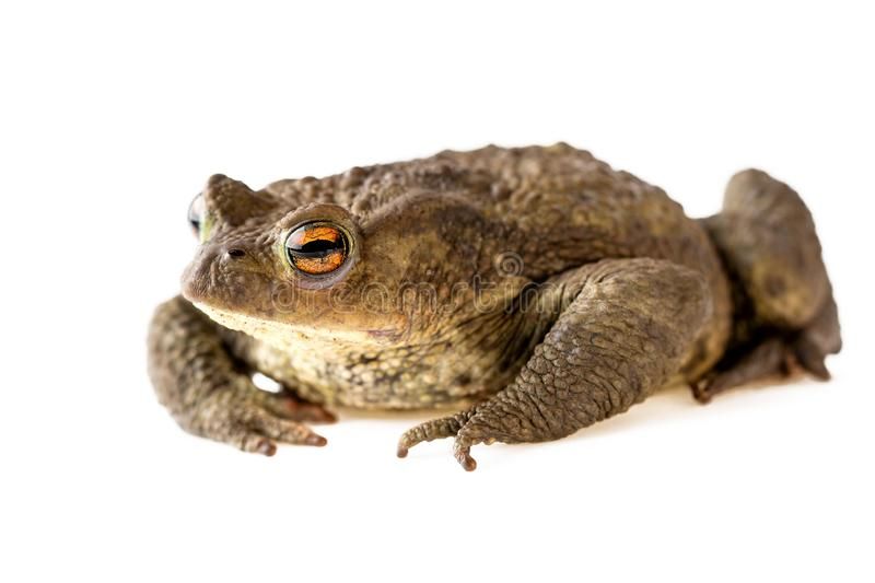 Toad  Close Up Common Toad or Bufo Bufo Isolated on White stock images