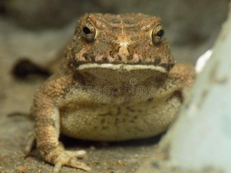 Toad royalty free stock photos