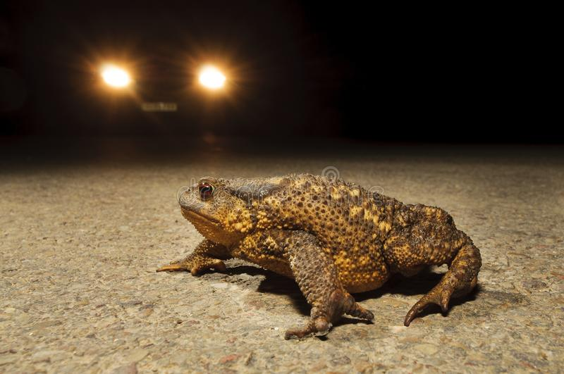 Toad across the road. Toad crossing the road at night dodging cars royalty free stock photo