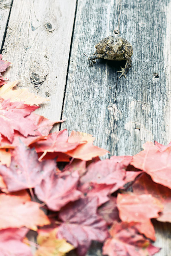 Toad and Fall Leaves. A curious American Toad sits on a deck partially covered in fall leaves stock photo