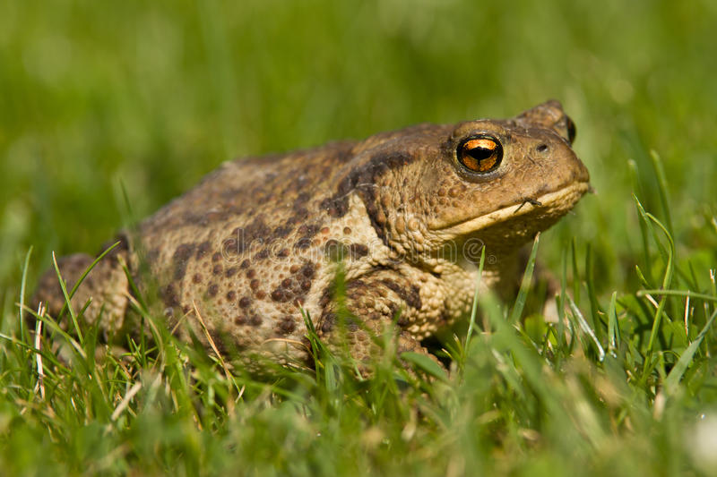 Toad on the grass. The common toad, European toad, or in Anglophone parts of Europe, simply the toad Bufo bufo, from Latin bufo `toad`, is an amphibian found royalty free stock images