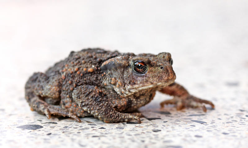 Toad on a gravel path basking in the sun. stock photos