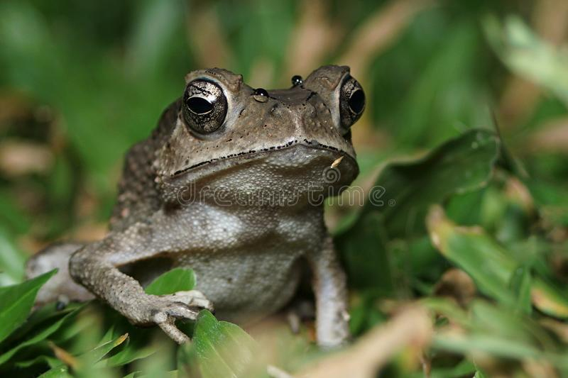 Toad on the lawn. A night shot of a toad crawling in the grass royalty free stock photo