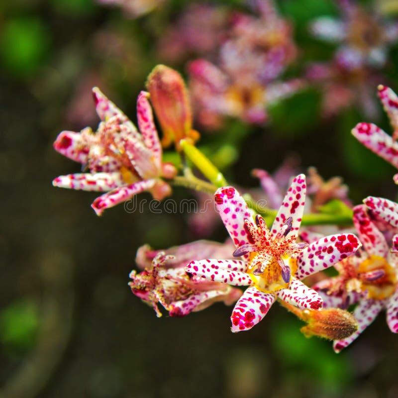 Toad Lily tricyrtis formosana stock photo