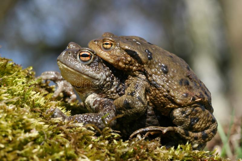Download Toad love stock photo. Image of love, toad, frog, natural - 13913404