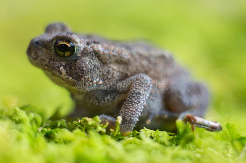 Toad on Moss 4. Side shot of small toad on green moss royalty free stock image