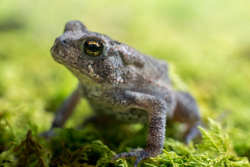 Toad on Moss 3. Small toad looking upward on green moss royalty free stock photos
