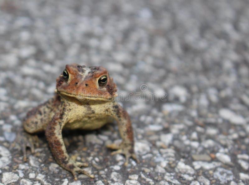Eastern American Toad Bufo americanus americanus stock images