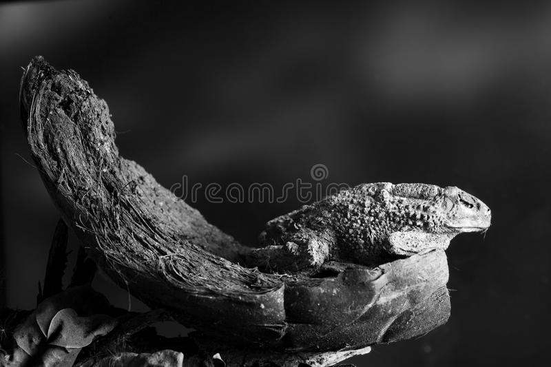 Toad portrait royalty free stock photography
