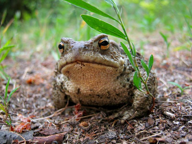 Toad, Ranidae, Amphibian, Terrestrial Animal royalty free stock images