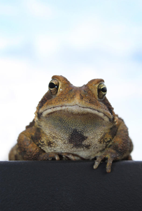 Toad at Rest. A toad shot from below against a light blue sky stock image