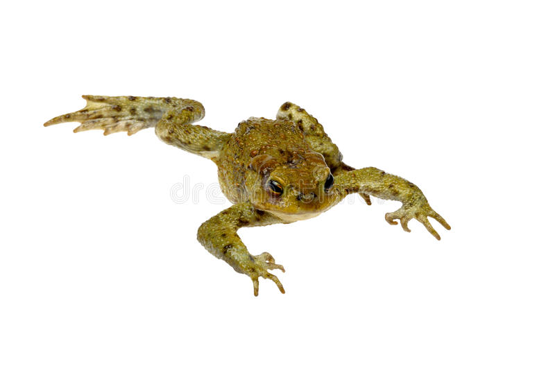 Download Toad on a white stock photo. Image of white, toads, skin - 19794304