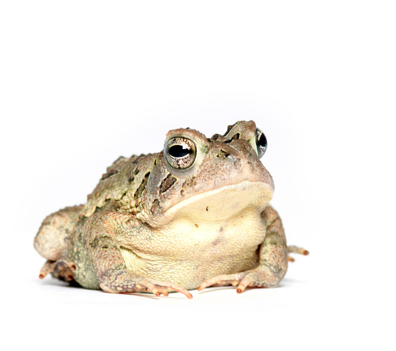 Toad on white. A toad on a white background stock photo