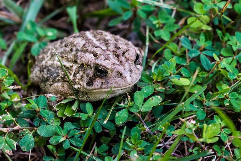 Toad in Wooded forest outside Close Up. Woodland toad hiding in forest shade of green foliage stock photo