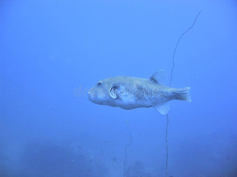 Toadfish stock fotografie