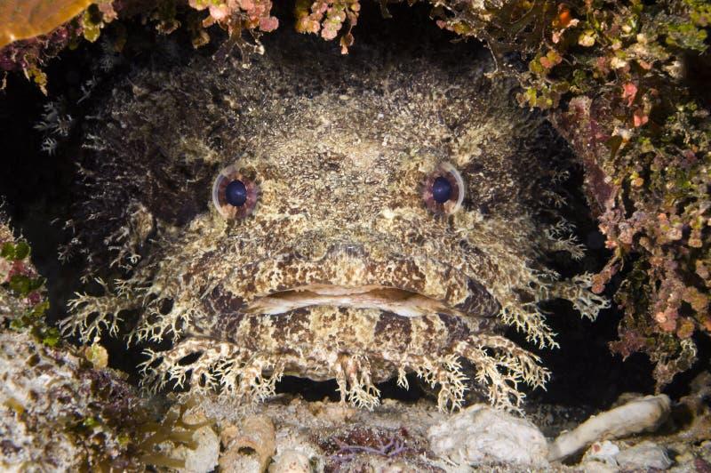 Toadfish photographie stock libre de droits