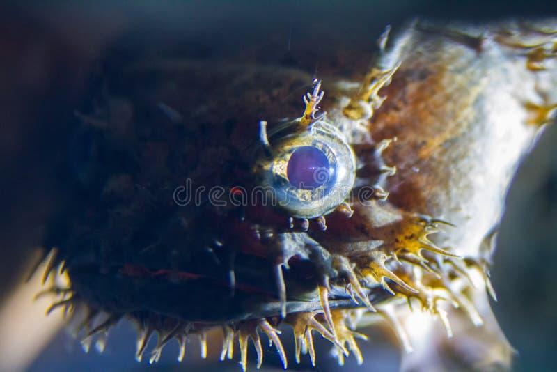 Toadfish d'eau douce de lionfish de stonefish images stock