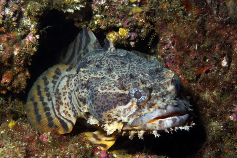 Toadfish d'huître photo stock