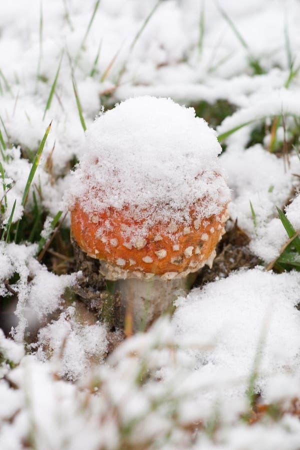 Toadstool dans la neige photo libre de droits