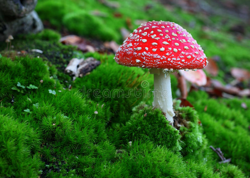 Download Toadstool stock image. Image of fall, biology, agaric - 63320663