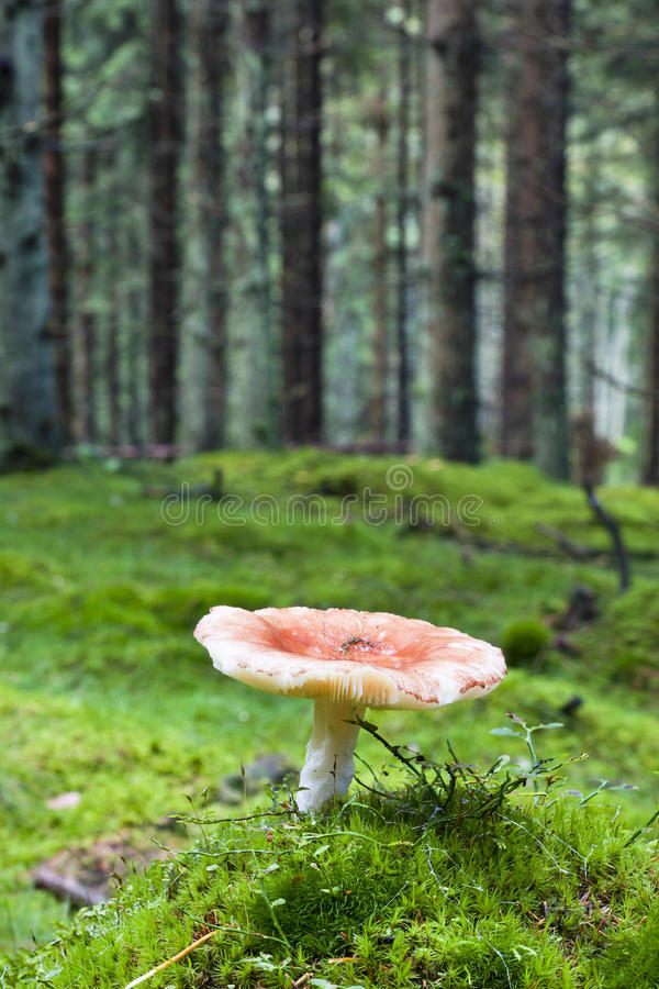 Toadstool im Wald stockfotos