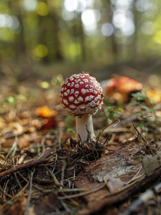 Toadstool rosso nella foresta immagini stock