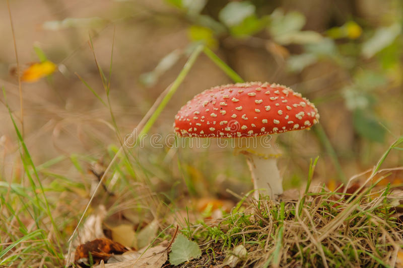 Download Toadstool stock image. Image of toadstools, seasons, fungi - 34700257