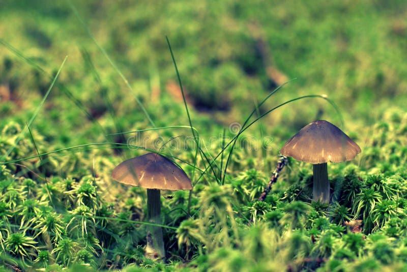2 toadstools гриба с коричневыми шляпами стоят среди мха и травы с запачканной предпосылкой как сказка стоковое изображение