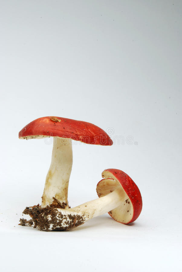 Download Toadstools stock image. Image of isolated, detail, nature - 10962793