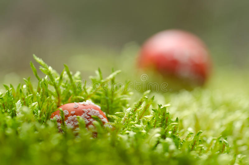 Download Toadstools stock image. Image of mushrooms, amanita, fungus - 22115963