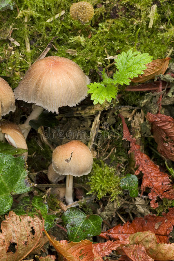 Toadstools no undergrowth imagem de stock
