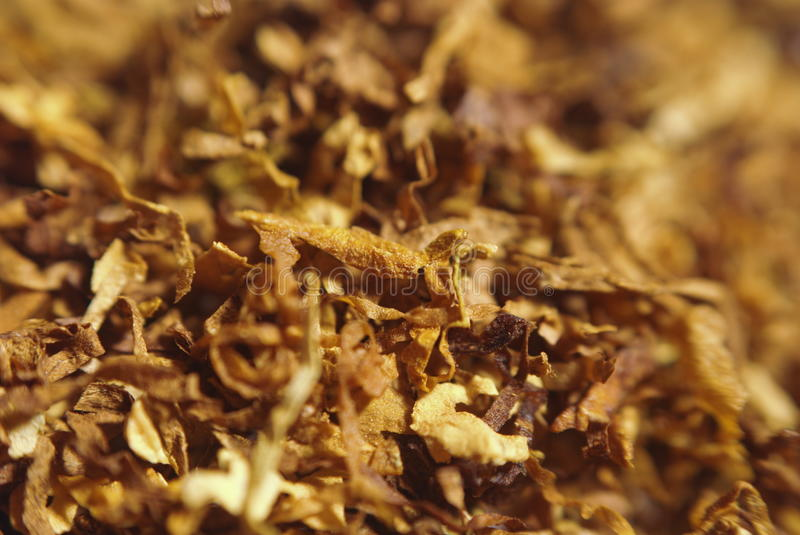 Tobacco. Loose cuts of dried tobacco form golden background texture .Shallow DOF stock photo