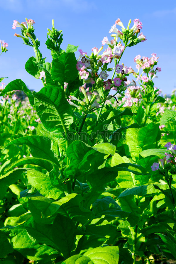 Tobacco. Plantation - field of tabacco plant stock photo