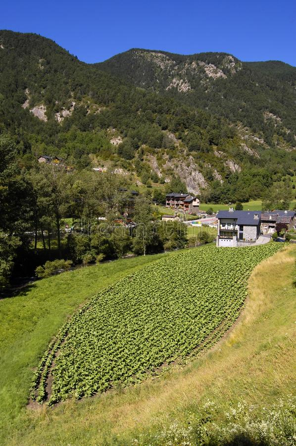 Tobacco crop in Andorra. Across the country there are many small fields growing tobacco. This was originally for local consumption, however things changed in the royalty free stock photos